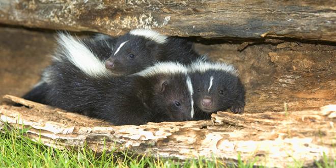 skunk removal charlottesville va