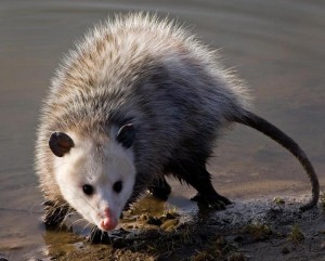 Wildlife Removal of Opossums