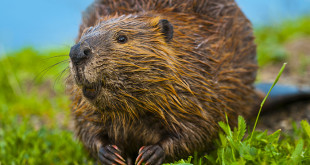 beaver removal